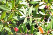 Flora Basilicata - lentisco