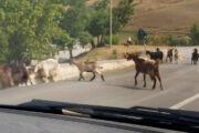 Caprette al pascolo sulla strada in Basilicata